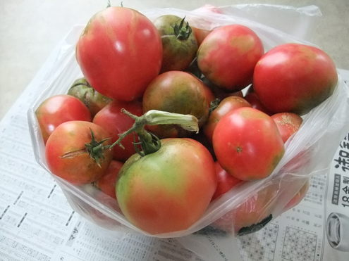 トマトの販売は終了!きゅうりは大豊作 【斉藤農園2011年夏】_e0146912_1244770.jpg
