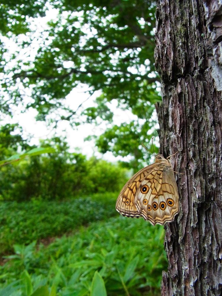 キマダラモドキ  これまた♀雌の方が綺麗。  2011.7.31長野県_a0146869_0552799.jpg