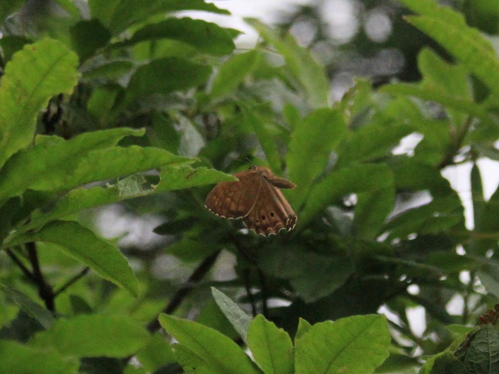 キマダラモドキ  これまた♀雌の方が綺麗。  2011.7.31長野県_a0146869_0554475.jpg