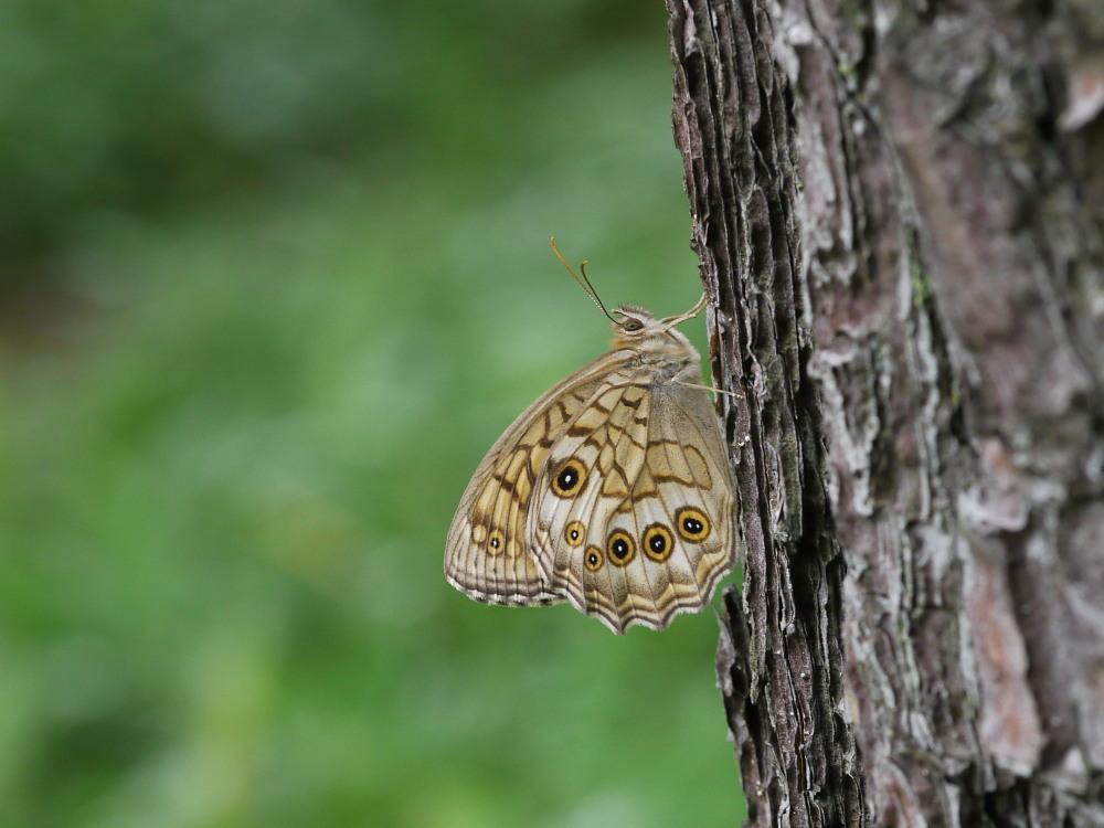 キマダラモドキ  これまた♀雌の方が綺麗。  2011.7.31長野県_a0146869_055483.jpg