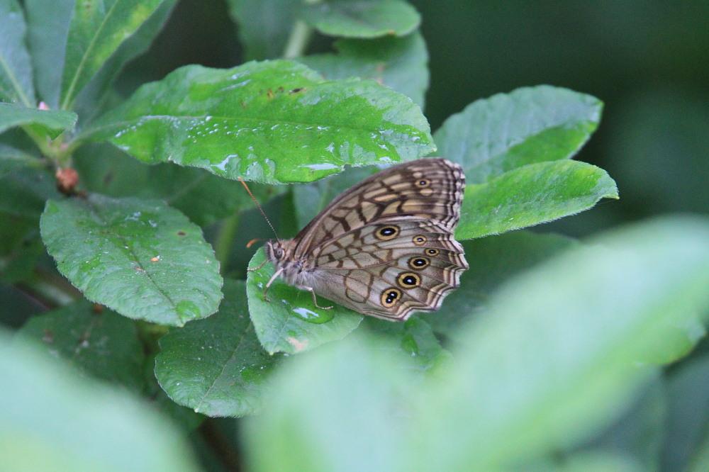キマダラモドキ  これまた♀雌の方が綺麗。  2011.7.31長野県_a0146869_0561315.jpg