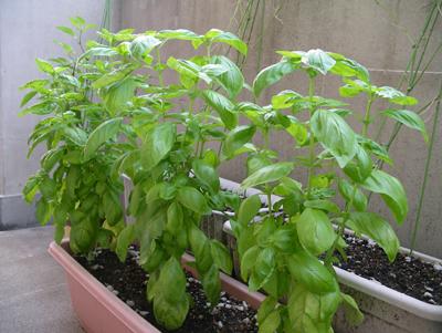 バジルまたまた大収穫_f0108133_8145871.jpg