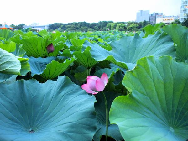 蓮の花咲く不忍池 2011.8.6_f0230666_14134393.jpg