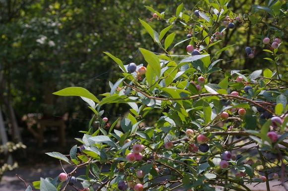 ブルーベリー狩り/ Blueberry picking_a0186568_16522778.jpg