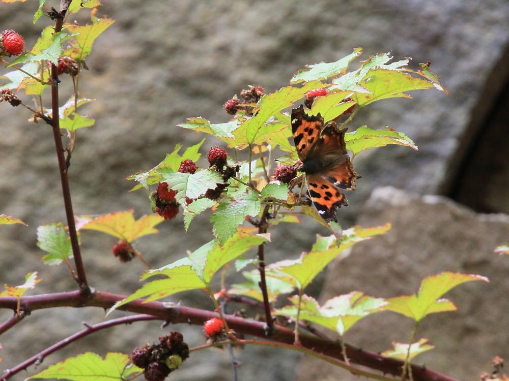 オオゴマシジミ  こりゃ~、撮影困難種だわい。  2011.8.6群馬県_a0146869_1931974.jpg