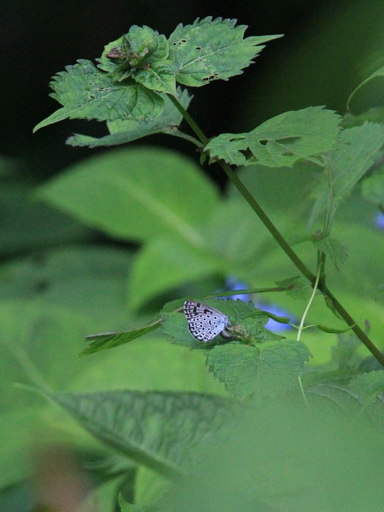 オオゴマシジミ  こりゃ~、撮影困難種だわい。  2011.8.6群馬県_a0146869_1964061.jpg