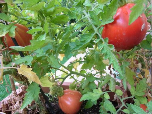 家庭菜園_c0222316_1722082.jpg