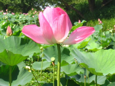 ゆるキャライベント&瓢湖の蓮_f0182936_14393.jpg