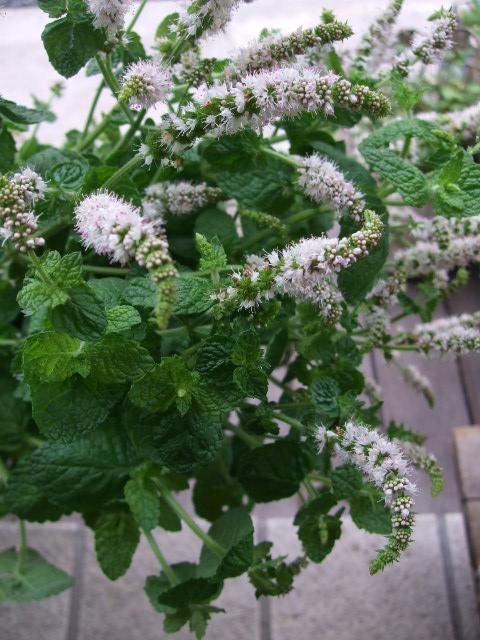 オークリーフ(アップルミントの白い花)_f0049672_15111929.jpg