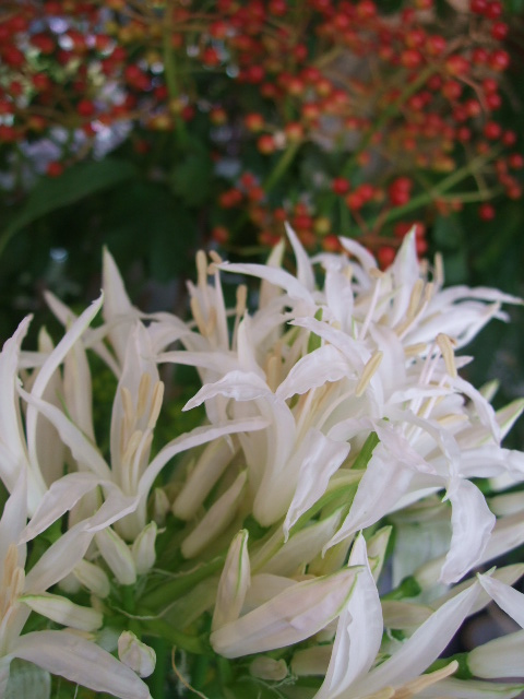 オークリーフ(アップルミントの白い花)_f0049672_1582116.jpg