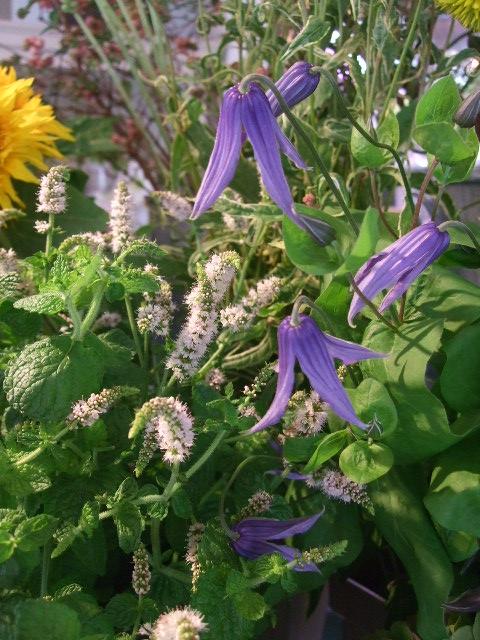 オークリーフ(アップルミントの白い花)_f0049672_15844100.jpg