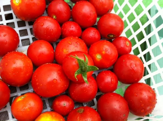 トマト収穫_f0165190_16253717.jpg