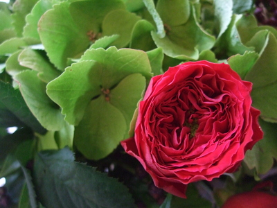 オークリーフ(赤バラと秋色紫陽花のアレンジメント)_f0049672_1255321.jpg