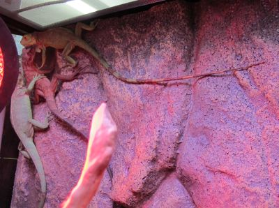 現在展示している爬虫類その1_a0193105_23191314.jpg