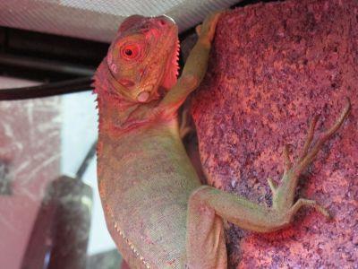 現在展示している爬虫類その1_a0193105_23193072.jpg