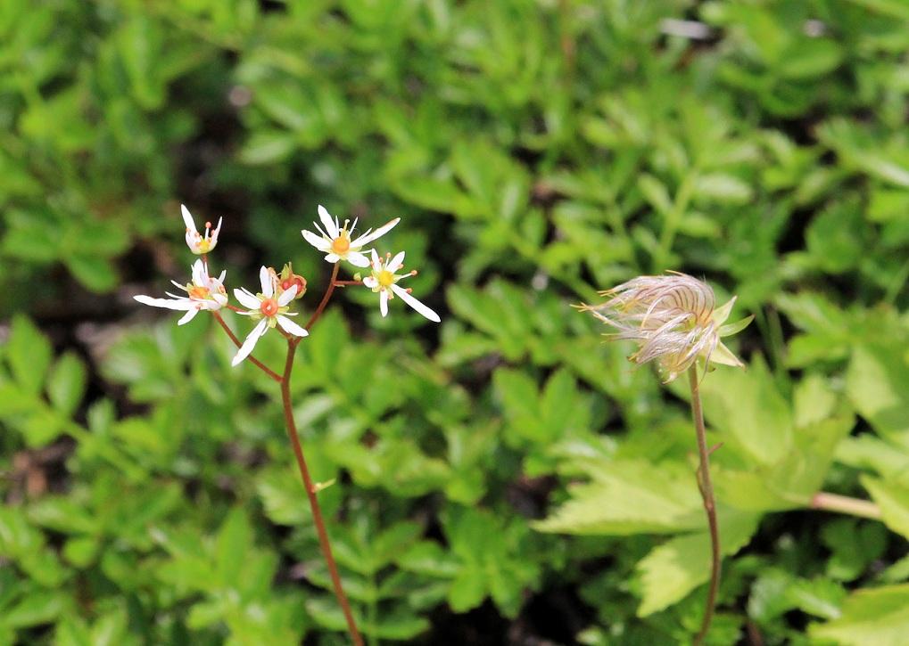 高山植物、標高2450m、白い花、で検索します   ~室堂~_a0107574_19583347.jpg