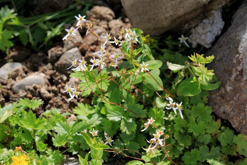 高山植物、標高2450m、白い花、で検索します   ~室堂~_a0107574_19585372.jpg