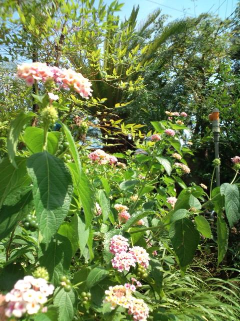 2011年盛夏。暑中お見舞い申し上げます。…グランパの庭より。_b0032617_14361017.jpg