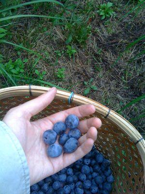 ブルーベリーの栄養素その1_c0123523_1795422.jpg