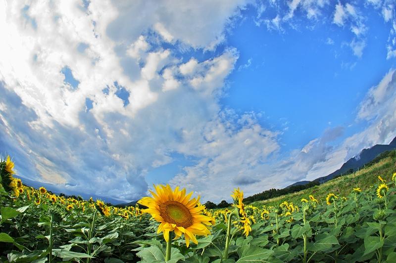 Sunflower 2_d0147676_6132877.jpg