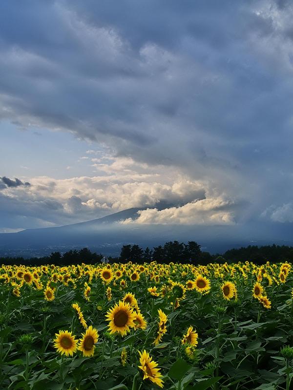 Sunflower 2_d0147676_6141439.jpg