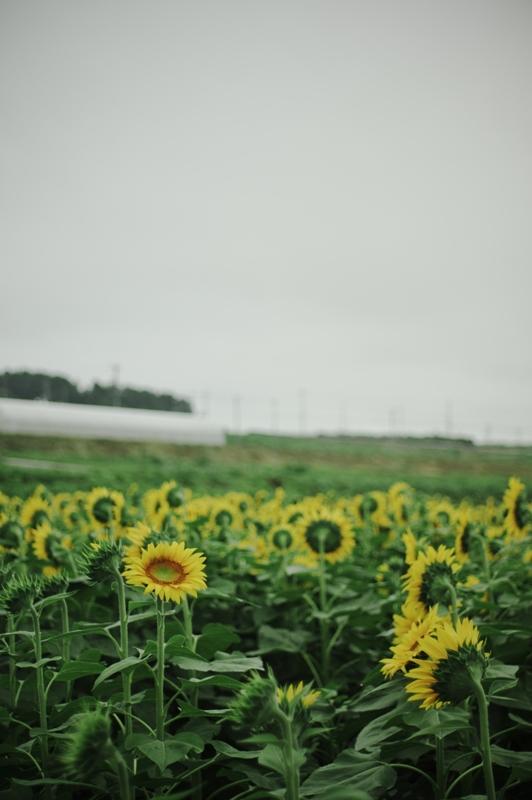 Sunflower 2_d0147676_614548.jpg