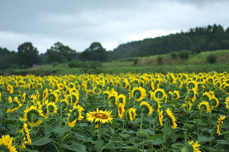 Sunflower 2_d0147676_6151019.jpg
