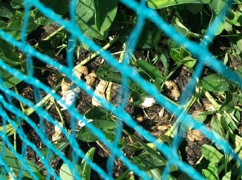 落花生のカラスの被害とキャベツの苗作りなど_f0018078_1921199.jpg