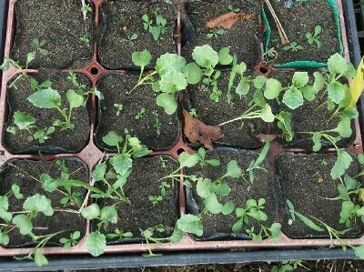 落花生のカラスの被害とキャベツの苗作りなど_f0018078_1931015.jpg