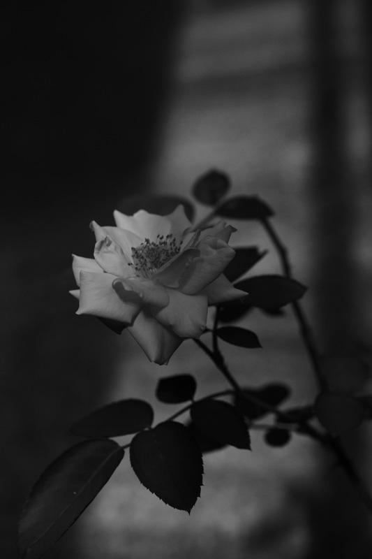 #1012 アンネの薔薇_b0177233_5155658.jpg