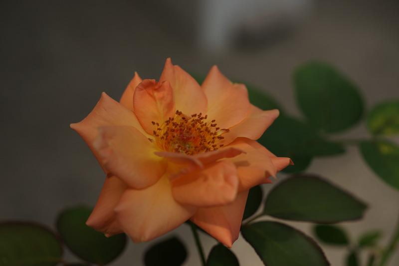 #1012 アンネの薔薇_b0177233_5161661.jpg