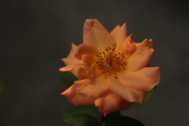 #1012 アンネの薔薇_b0177233_5163999.jpg