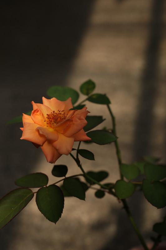 #1012 アンネの薔薇_b0177233_517162.jpg