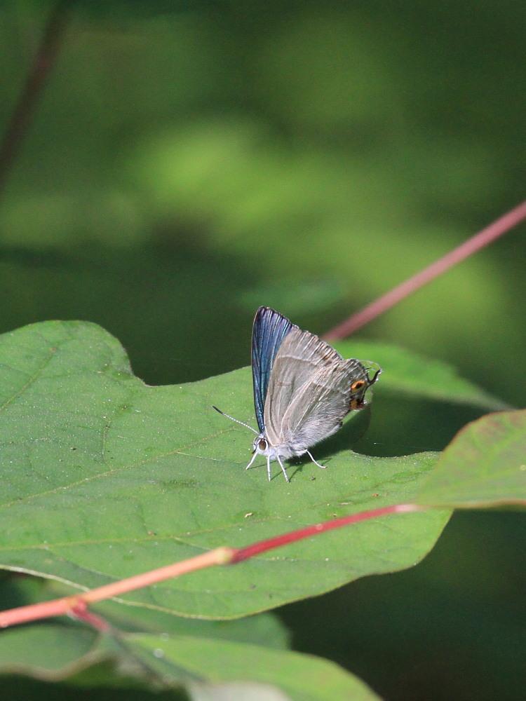オオミドリシジミ  これまた低い位置にたくさん。  2011.7.10長野県_a0146869_23504887.jpg