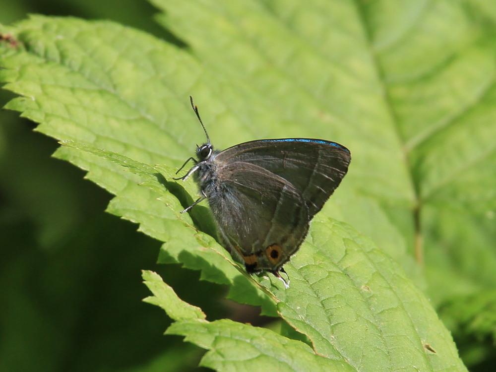 オオミドリシジミ  これまた低い位置にたくさん。  2011.7.10長野県_a0146869_23513979.jpg