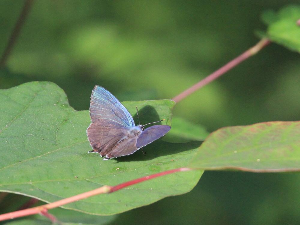 オオミドリシジミ  これまた低い位置にたくさん。  2011.7.10長野県_a0146869_2351717.jpg