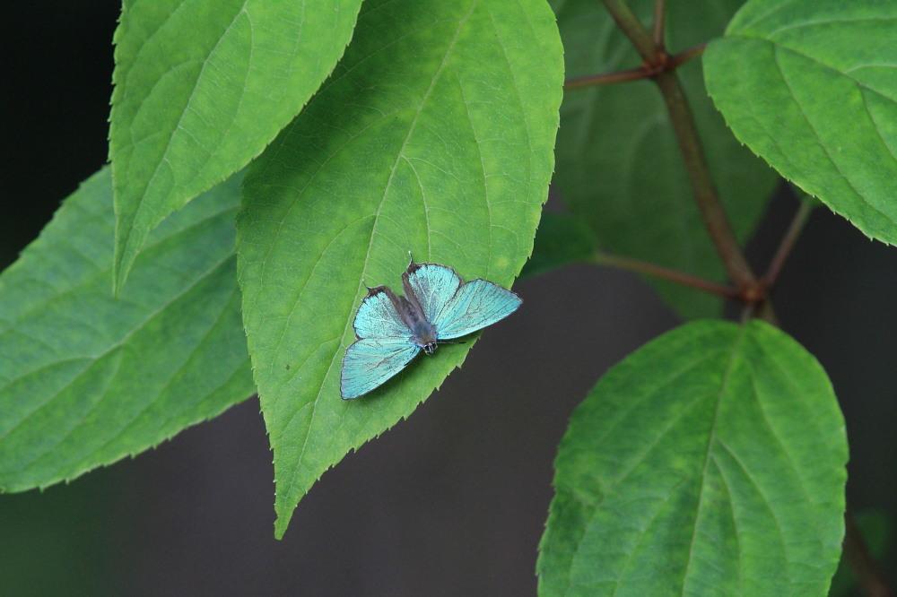 オオミドリシジミ  これまた低い位置にたくさん。  2011.7.10長野県_a0146869_23523678.jpg