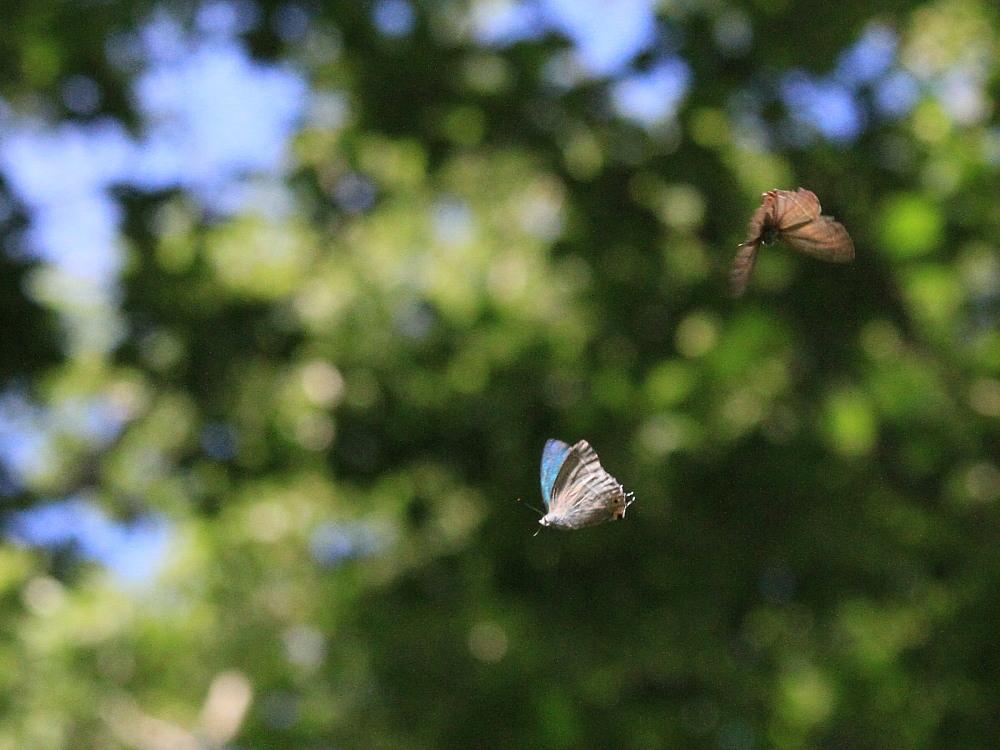 オオミドリシジミ  これまた低い位置にたくさん。  2011.7.10長野県_a0146869_23552192.jpg