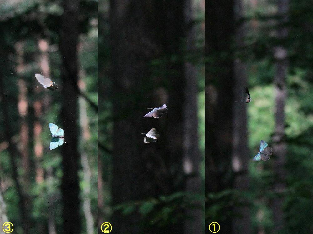オオミドリシジミ  これまた低い位置にたくさん。  2011.7.10長野県_a0146869_23554622.jpg