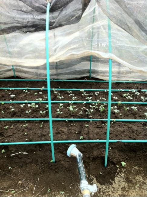 冬野菜の苗床&バジリコに給水です_c0222448_12385322.jpg