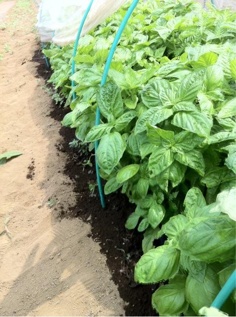 冬野菜の苗床&バジリコに給水です_c0222448_12391067.jpg