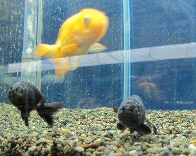 現在の金魚展示販売コーナー_a0193105_19195761.jpg