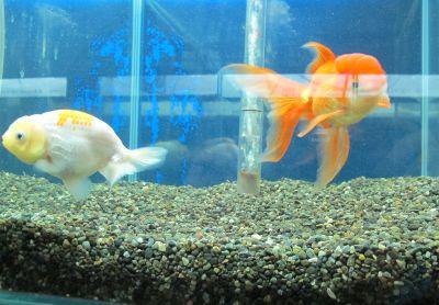 現在の金魚展示販売コーナー_a0193105_1920182.jpg