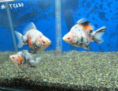 現在の金魚展示販売コーナー_a0193105_19203218.jpg