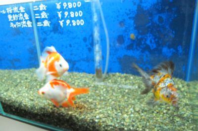 現在の金魚展示販売コーナー_a0193105_19204255.jpg