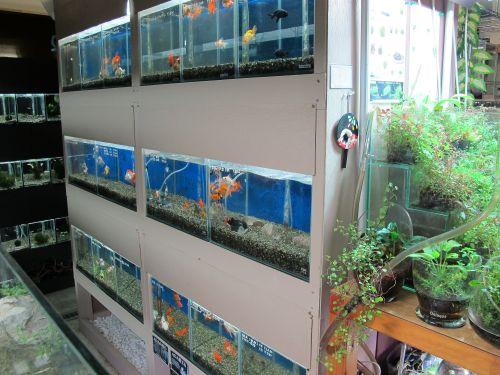 現在の金魚展示販売コーナー_a0193105_19205748.jpg