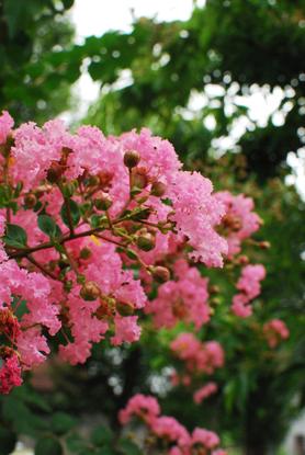 夏の花散歩 2011_d0113613_12132186.jpg