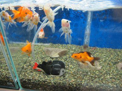 お求め安い金魚も色々居ます^^_a0193105_18522922.jpg