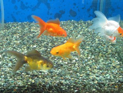 お求め安い金魚も色々居ます^^_a0193105_18524544.jpg