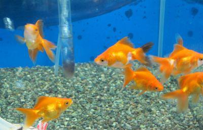 お求め安い金魚も色々居ます^^_a0193105_18533225.jpg